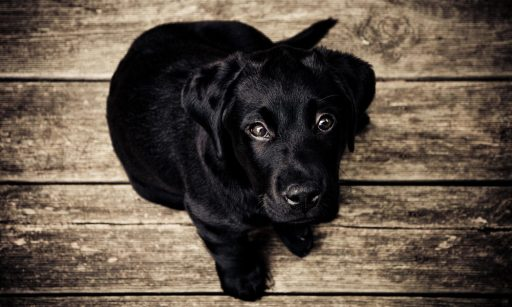 Black lab foster dog for Our Services page